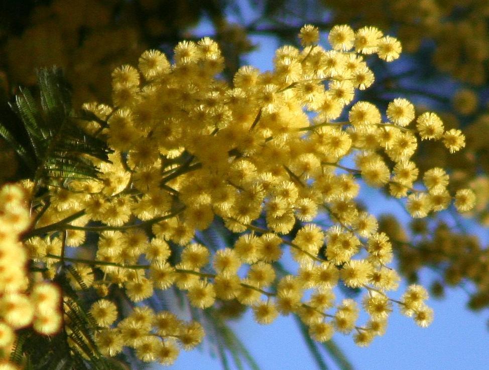Mimosa, 8 marzo, festa della donna